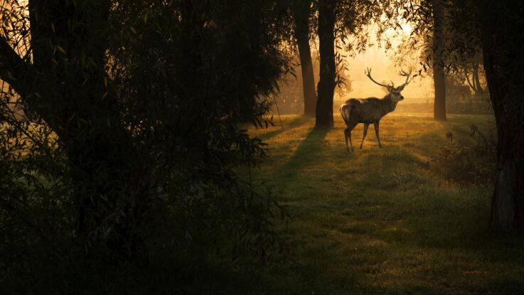 Hjort i skoven