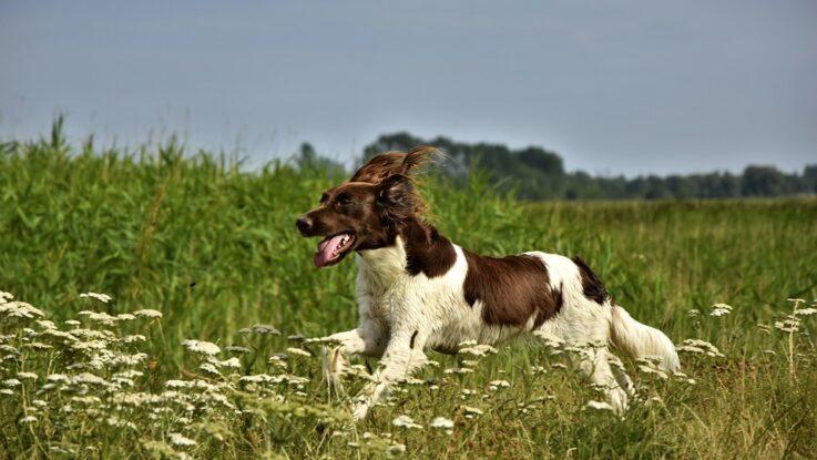 Løbende hund